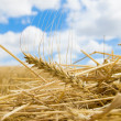 Ear of wheat — Stock Photo #5578517