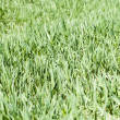 Green grass cover - Stock Photo