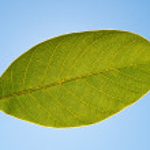 Green leaf of walnut — Stock Photo