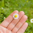 Stock Photo: Hand with chamomile