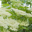 sambucus — Stock Photo