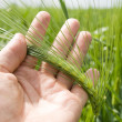 Green barley — Stock Photo