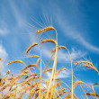 Stock Photo: Golden wheat ears