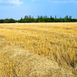 Golden field — Stock Photo #5579493
