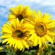 Stock Photo: Sunflowers family