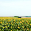 Sunflowers field — Stock Photo #5579545