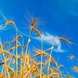 Golden wheat ears — Stock Photo