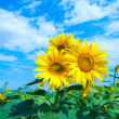 Sunflowers family — Stock Photo #5579762