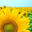 Part of sunflower — Stock Photo