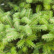 Green pine - Stock Photo
