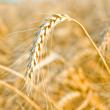 Stock Photo: Golden wheat ear