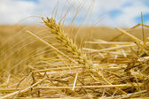 Windrows — Stock Photo