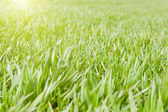 Sunny grreen grass — Stock Photo