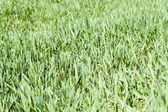 Green grass cover — Stockfoto