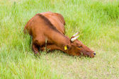 Vaca roja de la estepa — Foto de Stock