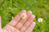 Hand with chamomile — Stock Photo