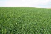 зеленое поле — Стоковое фото