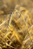 Trigo de oro — Foto de Stock