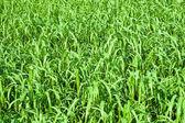 Pasto verde con — Foto de Stock