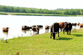 Cows on watering — Stock Photo