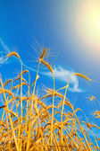 Wheat ears with sun over them — Stock Photo