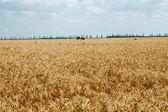 Zralé pšeničné pole熟した小麦畑 — Stock fotografie