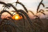 Ripe wheat at sunset — Stock Photo