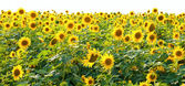 Solrosor i fältet — Stock fotografie