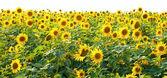Słoneczniki w polu — Zdjęcie stockowe