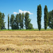 Wheat in windrows — Stock Photo #5582507