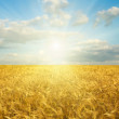 Golden field in sunset - Stock Photo