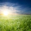 Green wheat in field — Stock Photo #5582587