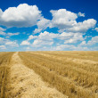 Stock Photo: Collected harvest in windrows