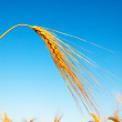 Foto Stock: Gold ears of wheat