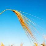 Gold Ohren des Weizens — Stockfoto