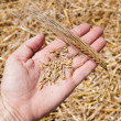 Cones and wheat in the hand - Stock Photo