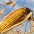 Stock Photo: Ripe maize