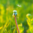 Stock Photo: Old dandelion