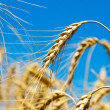 Gold ears of wheat — Stock Photo #5582753