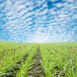 Green field under cloudy sky — Stock Photo