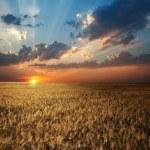 champ au coucher du soleil — Photo