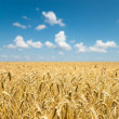 Gold ears of wheat — Stock Photo #5582846