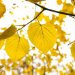 Stock Photo: Golden leafs