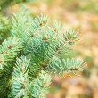 Stock Photo: Close-up of pine