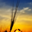 Golden sunset over harvest — Stock Photo