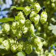 Green hops - Stock Photo