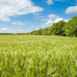 Field of green wheat — Stock Photo #5583338