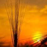 Ripe wheat on sunset — Stock Photo