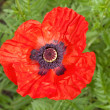 Red flower of poppy — Stock Photo