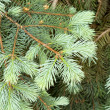 Green branch of pine — Stock Photo